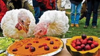 Vegan Thanksgiving: Turkeys Feasting